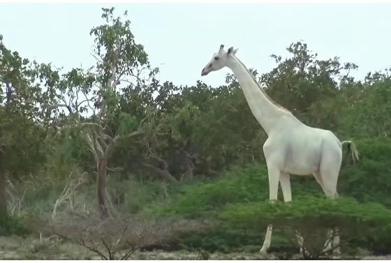 video extremne zriedkave zirafy prve video ktore ich zachytava vo volnej prirode