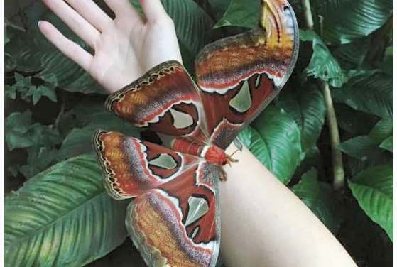 video najvacsi motyl na svete zije len par dni a to bez jedla